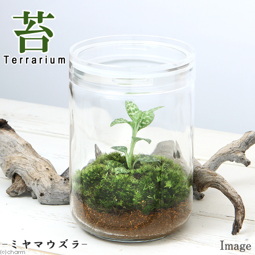 Chanet Houseplant Moss Terrarium Miyama Quail Glass Bottle L