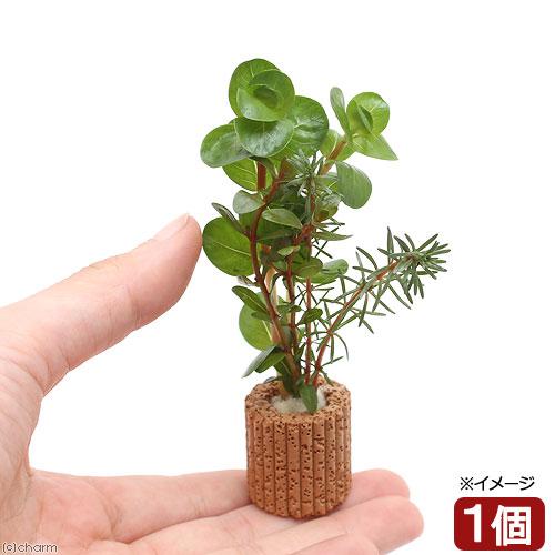 (水草)ライフマルチ(茶) 赤系ロタラミックス(水上葉)(無農薬)(1個) 北海道航空便要保温