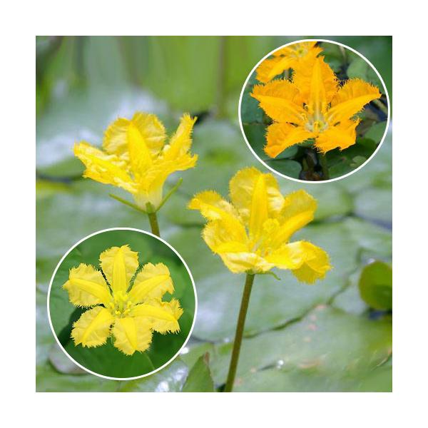 (ビオトープ)水辺植物 花色おまかせ アサザ(品種指定なし)(1ポット) 浮葉植物