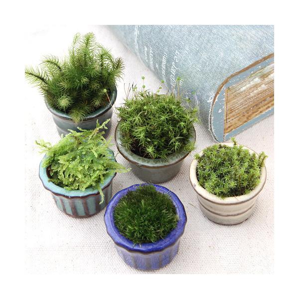 盆栽 国内正規品 苔盆栽 おまかせ苔 豆鉢植え 買収 3鉢