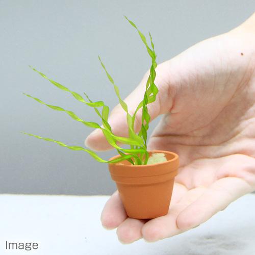 (水草)エキノドルス ベスビウス プチ素焼き鉢(水中葉)(無農薬)(1鉢) 北海道航空便要保温