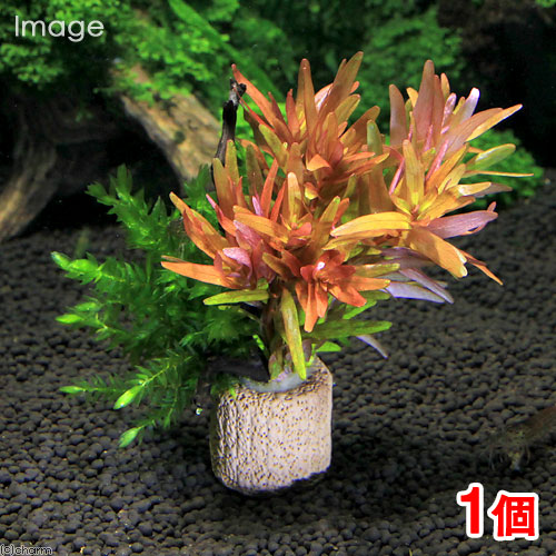 (水草)ライフマルチ(茶) モス付き赤系有茎草 クリスマスカラー(水中葉)(1個)