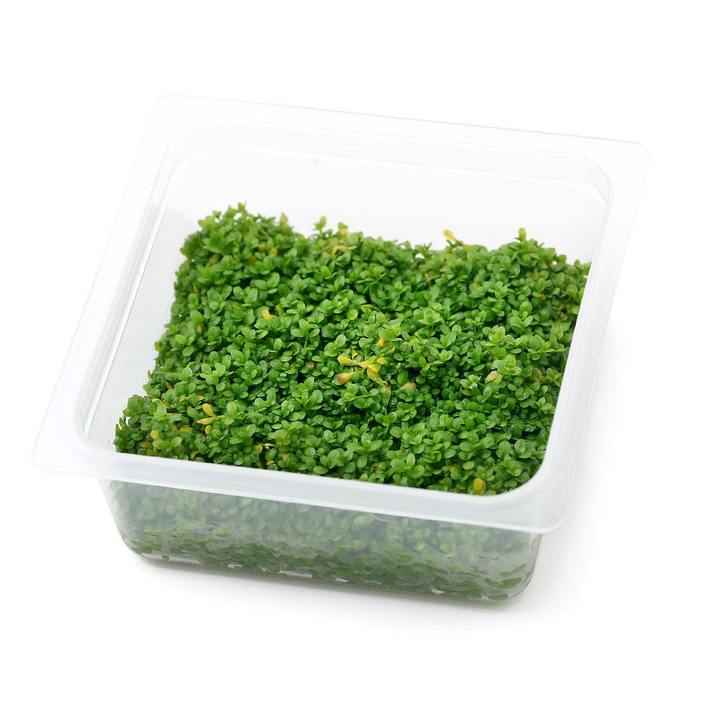 水草 オリジナル組織培養 キューバパールグラス 新色追加 無農薬 1カップ 公式通販