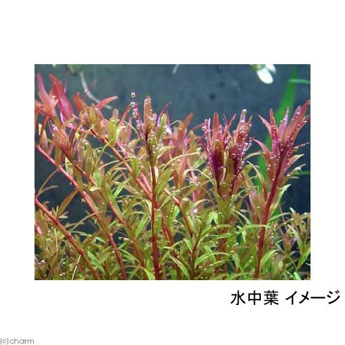 (水草)マルチリングブラック(黒) ロタラ インディカ(水上葉)(無農薬)(1個) 北海道航空便要保温