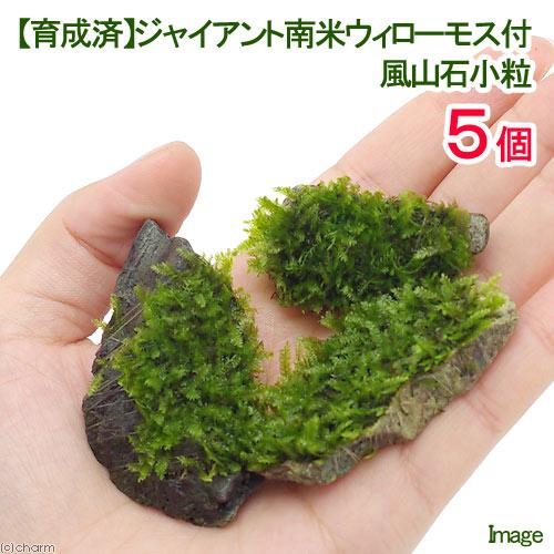 (水草)育成済 ジャイアント南米ウィローモス 風山石小粒(無農薬)(5粒)