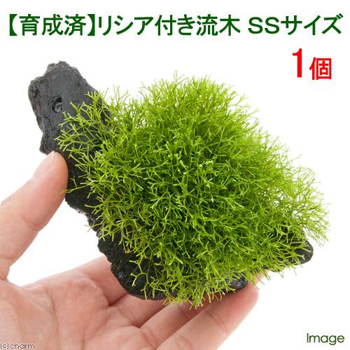 水草 育成済 店舗 リシア付き流木 SSサイズ 約10cm 1本 無農薬 正規認証品!新規格