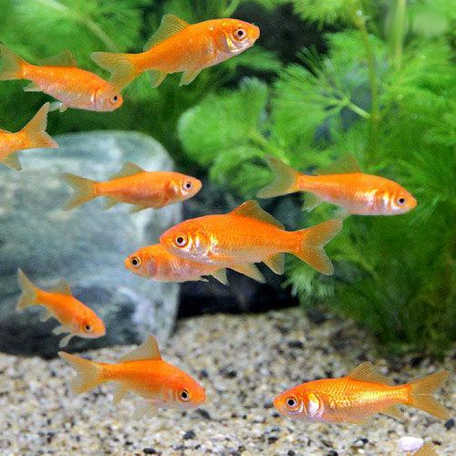 (goldfish) Money of goldfish bait gold bait for the live bait small red  bait from Yamatokoriyama (30)