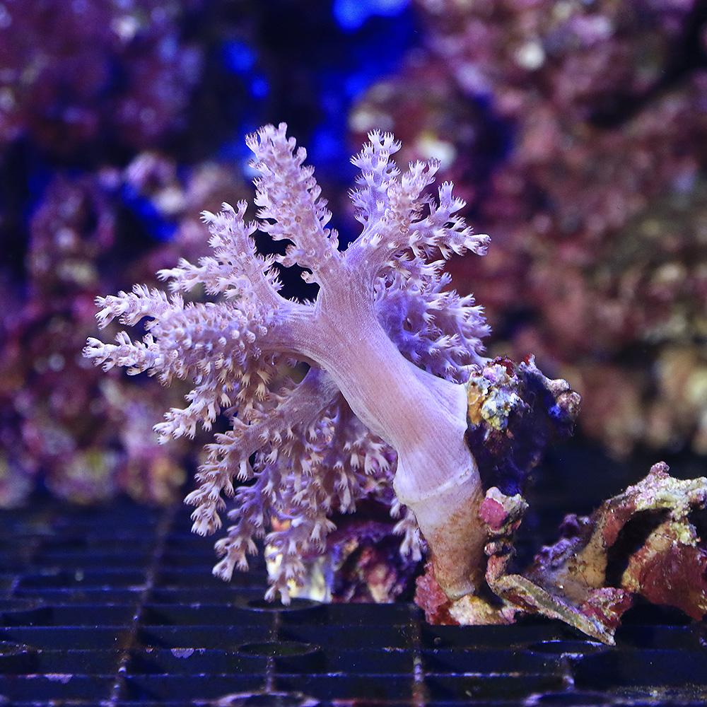 サンゴ 沖縄産 マーケティング カワラフサトサカ 本物◆ 北海道航空便要保温 Sサイズ 1個