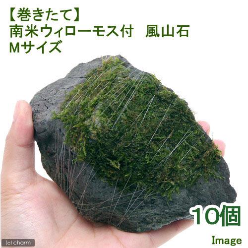 (水草)巻きたて 南米ウィローモス 風山石 Mサイズ(約14cm)(無農薬)(10個) 沖縄別途送料