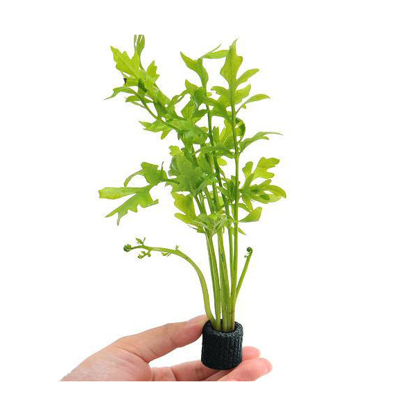 水草 マルチリングブラック 黒 新作通販 ウォータースプライト 1個 お買い得 水上葉 無農薬