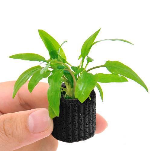 割り引き 期間限定特価品 水草 マルチリングブラック 黒 クリプトコリネ ウェンティー 1個 グリーン