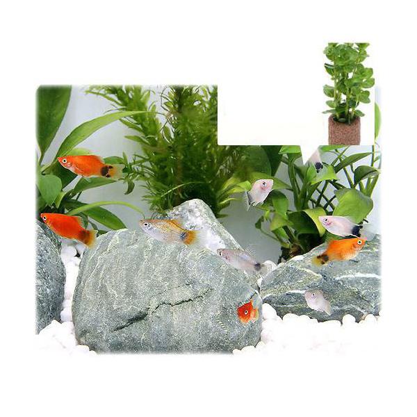 激安価格と即納で通信販売 熱帯魚 水草 ミックスプラティ 毎日がバーゲンセール 4匹 ライフマルチ 北海道航空便要保温 おまかせロタラ 1個 茶