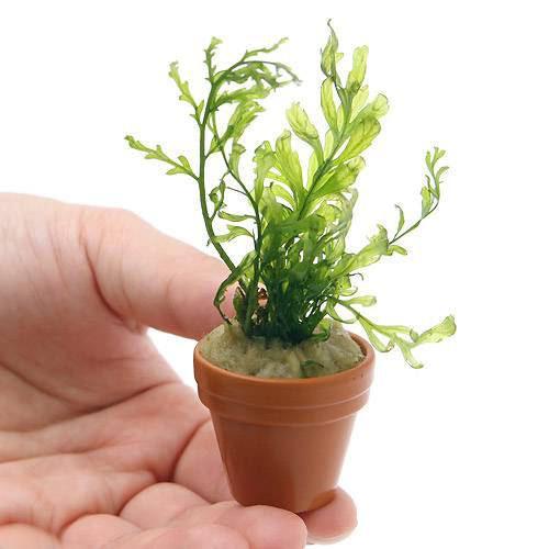 水草 毎日がバーゲンセール ボルビティス ヒュディロティ 1鉢 アイテム勢ぞろい 無農薬 ミニ鉢
