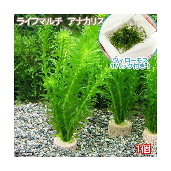 Aquatic Plants Java Moss Life March Anacharis 1 Set Hokkaido Flight Requiring Insulation