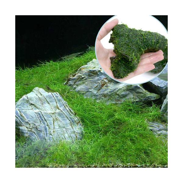 (水草)ヘアーグラス ショート+巻きたて ウィローモス 流木 SSサイズ(約10cm) 熱帯魚 北海道航空便要保温