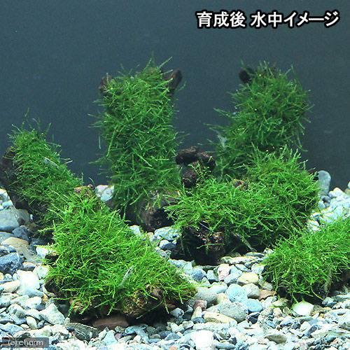 (水草)グロッソスティグマ+巻きたて ウィローモス 流木 SSサイズ(約10cm) 北海道航空便要保温