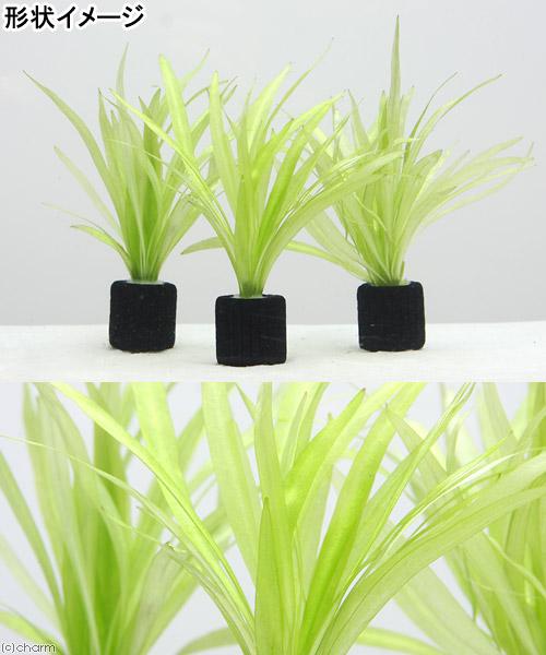 (水草)マルチリングブラック(黒) チェーンアマゾン(水中葉)(無農薬)(3個) 北海道航空便要保温
