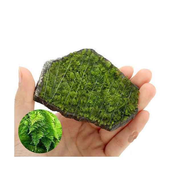 (水草)巻きたて 南米ウィローモス 輝板石 Sサイズ(無農薬)(1個)