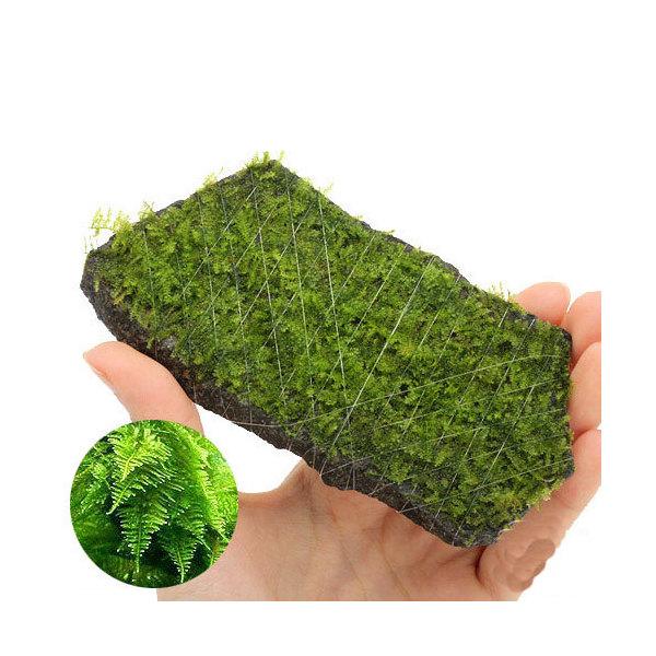 (水草)巻きたて 南米ウィローモス 輝板石 Mサイズ(約14cm)(無農薬)(3個) 北海道航空便要保温