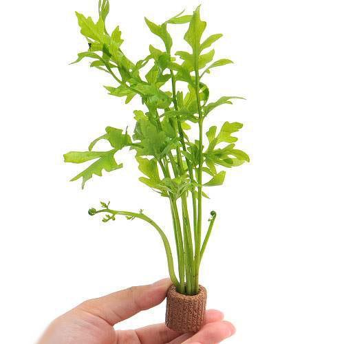 水草 1着でも送料無料 ライフマルチ 発売モデル 茶 ウォータースプライト 水上葉 無農薬 2個