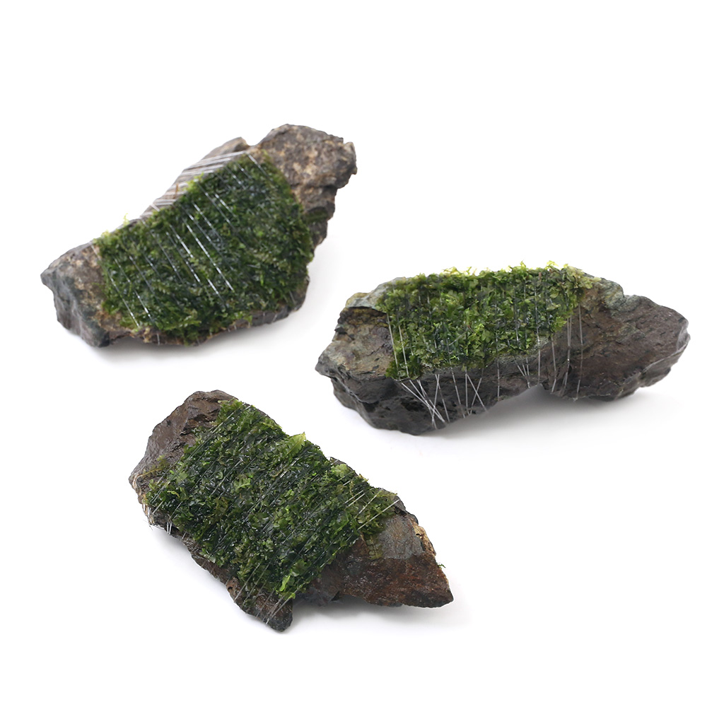 (水草)巻きたて ウロコゴケsp.スラウェシ 風山石 SSサイズ(8cm以下)(無農薬)(1個)