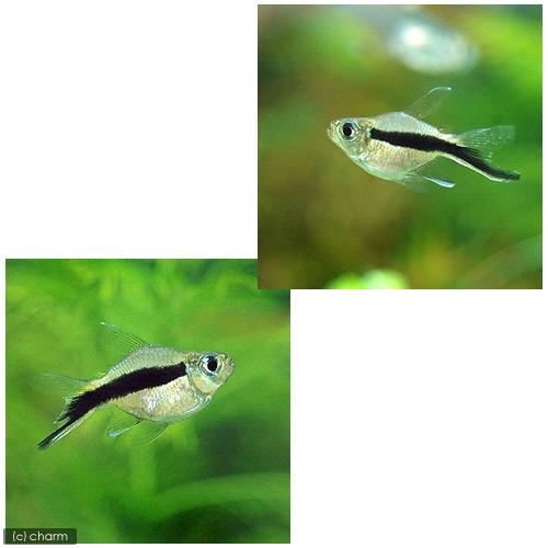 (熱帯魚)バルーンペンギン・テトラ(2匹) 北海道・九州・沖縄航空便要保温