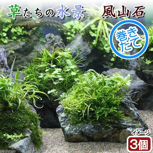 (水草)巻きたて 草たちの水景 風山石(無農薬)(3個)