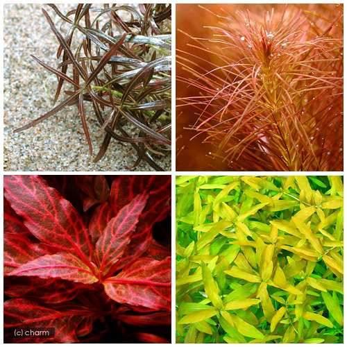(水草)おまかせ4色紅葉セット(水中葉)(無農薬)(10本)