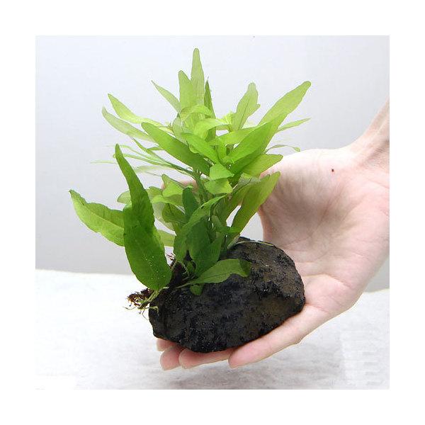 (水草)置くだけ簡単 ハイグロフィラ ポリスペルマ(水中葉)&ミクロソリウム 穴あき溶岩石付(1個)