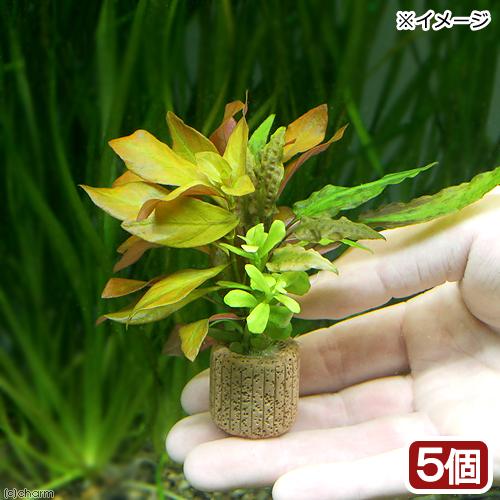 (水草)ライフマルチ(茶) 寄せ植えミックス(水中葉)(無農薬)(5個) 北海道航空便要保温