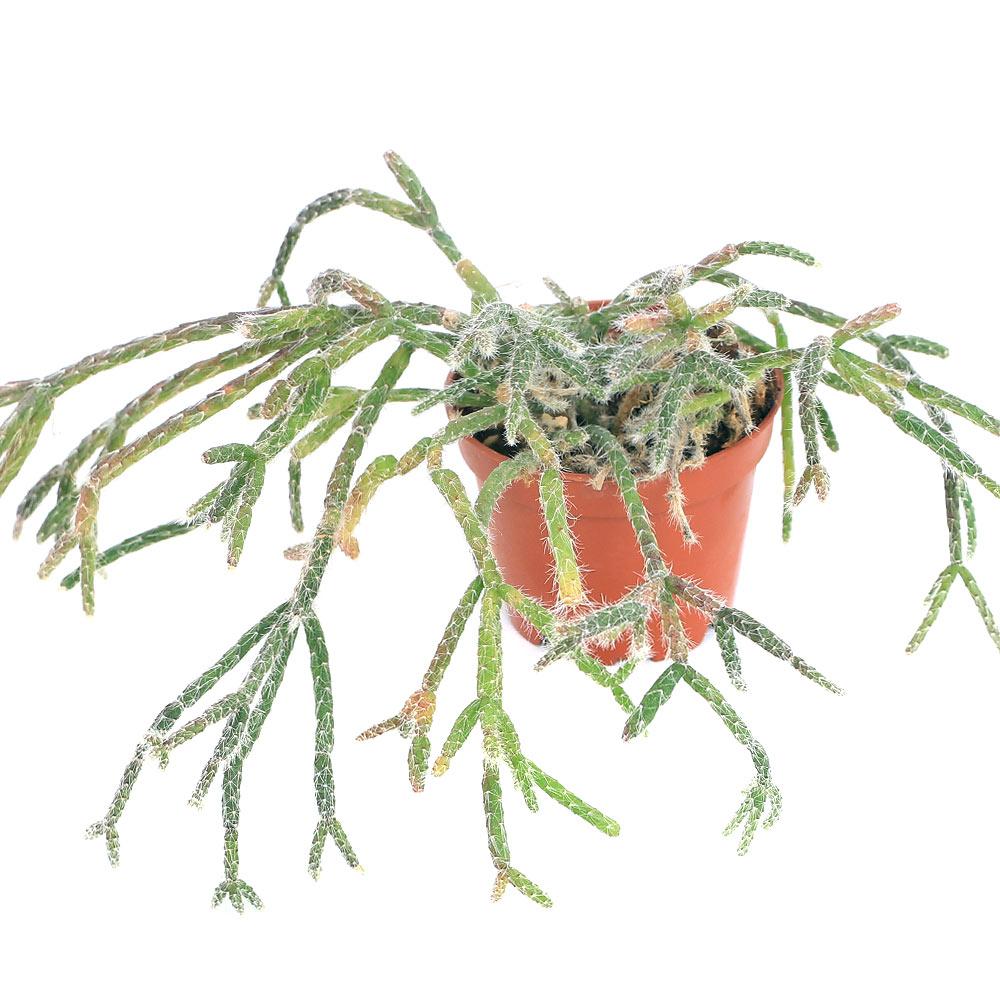 楽天市場 観葉植物 リプサリス ピロカルパ 3 3 5号 1鉢 Charm 楽天市場店