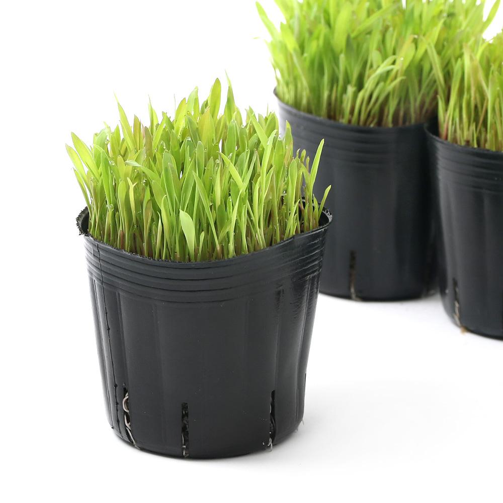 (観葉植物)長さで選べる スーダングラス(短め) 3号(1ポット) 無農薬