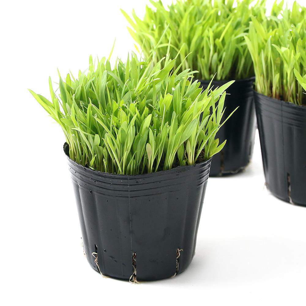 超激安特価 観葉植物 スーダングラス ネコちゃんの草 3号 猫草 5ポット 国産品 無農薬