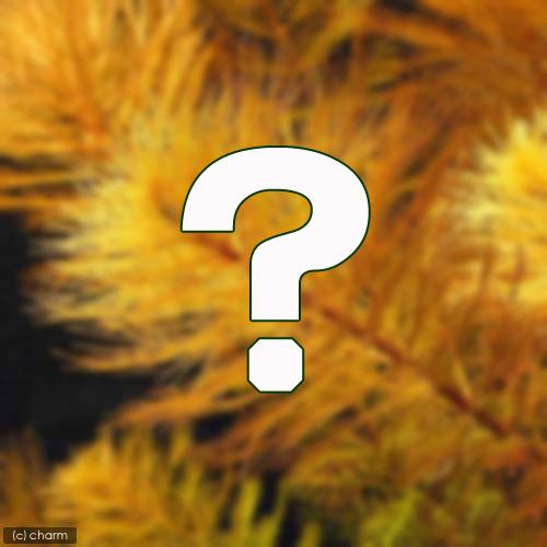 水草 おまかせミリオフィラム 水上葉 計10本 売買 無農薬 豪華な 2種×5本セット