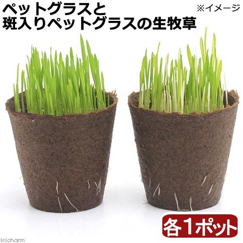 (観葉植物)ペットグラスと斑入りペットグラス生牧草セット ワンちゃんの草 燕麦 直径8cmECOポット植え(各1ポット)