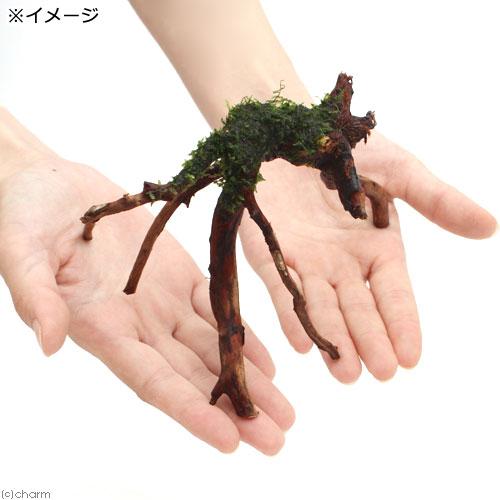 (水草)巻きたて ウィローモス ブランチアーチ流木(1本) 北海道航空便要保温