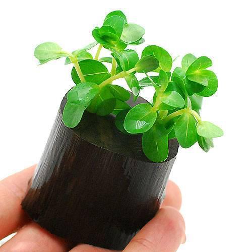 水草 希望者のみラッピング無料 グリーンロタラ 水上葉 1個 物品 ログポット付 無農薬