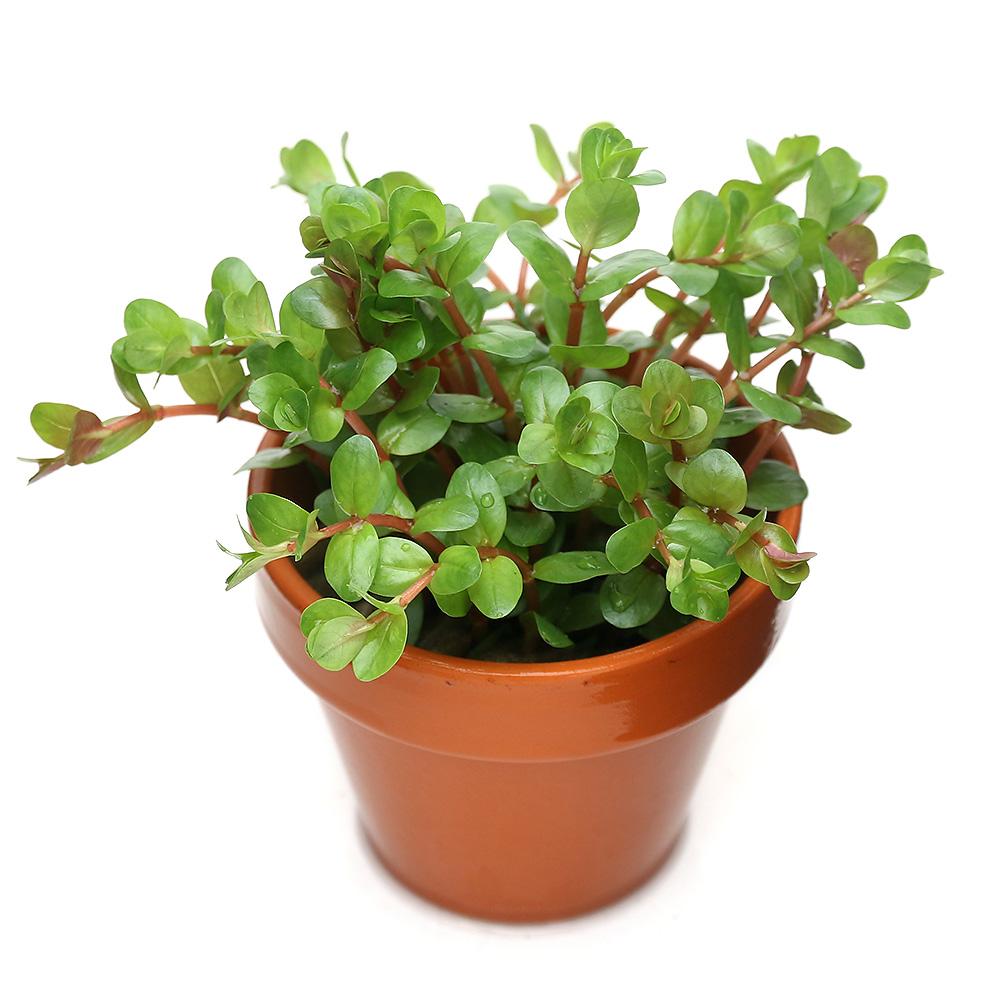 公式ショップ 水草 素焼き鉢 セール 登場から人気沸騰 ロタラ インディカ 1鉢 無農薬 水上葉