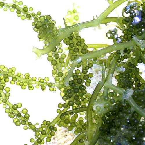 海水魚 海藻 生餌 ウミブドウミックス グラム売り 100g 超激安 販売実績No.1 北海道航空便要保温