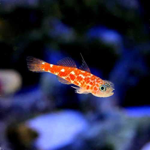 (海水魚)沖縄産 チゴベニハゼ(1匹) 北海道航空便要保温
