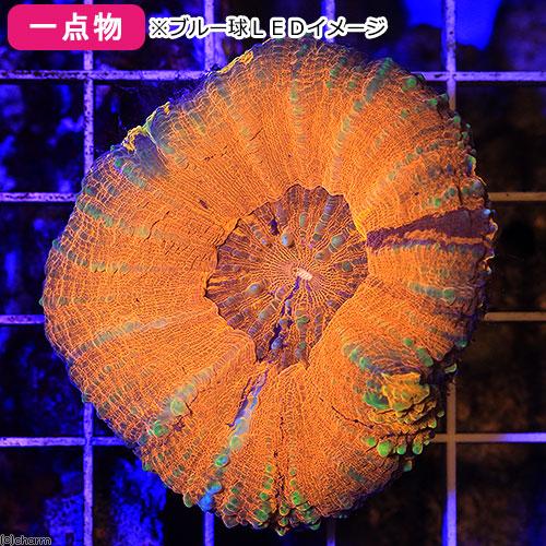 (海水魚 サンゴ)一点物 オーストラリア産 スコリミア CM-11421(1個) 沖縄別途送料 北海道・九州航空便要保温