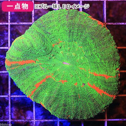 (海水魚 サンゴ)一点物 オーストラリア産 スコリミア CM-11482(1個) 沖縄別途送料 北海道・九州航空便要保温
