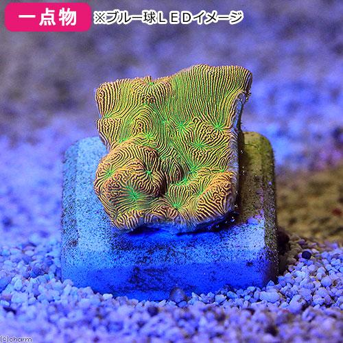 (海水魚 サンゴ)一点物 台湾ブリード センベイサンゴsp. CM-11494(1個) 北海道・九州航空便要保温 沖縄別途送料