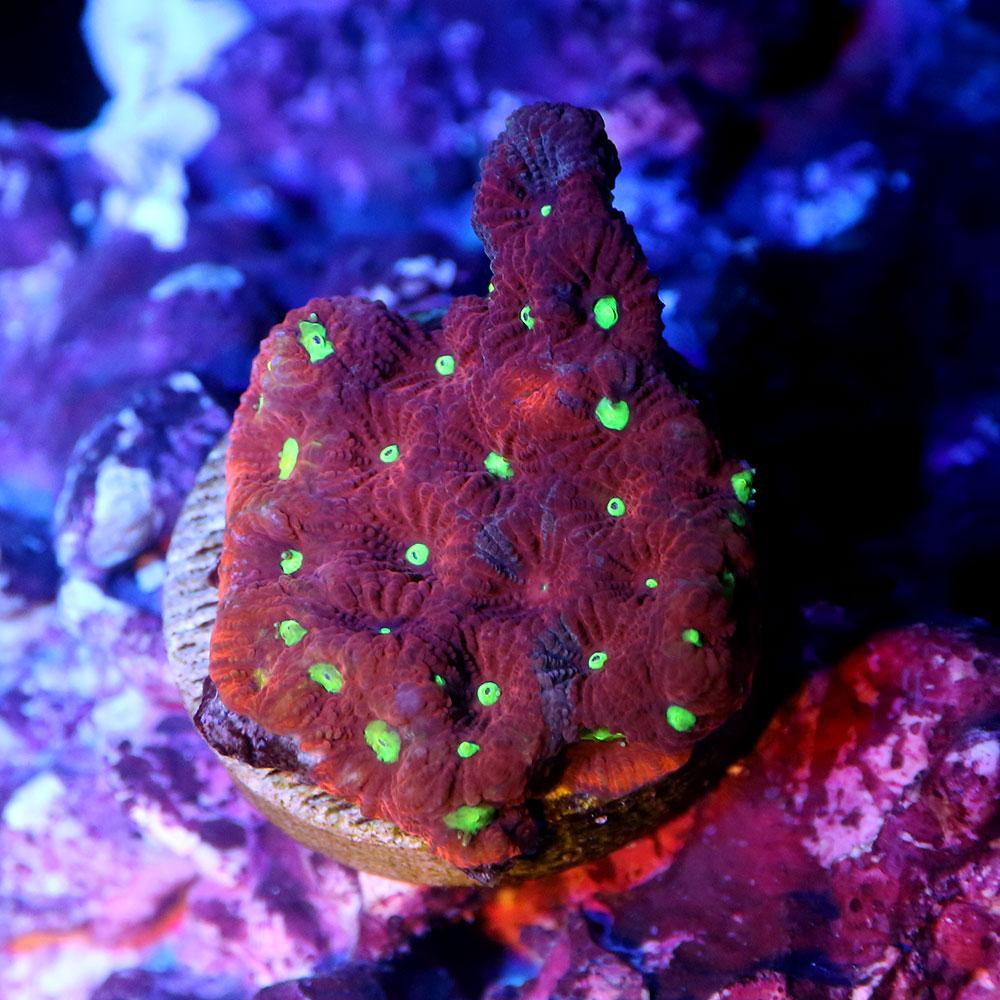 (サンゴ)一点物 オーストラリア産 キクメイシsp.プラグ付き レッド&グリーンスポット CM-12110(1個) 沖縄別途送料