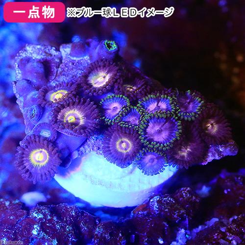 (海水魚 サンゴ)一点物 セレクト マメスナギンチャク エッグプランツ プラグ付き CM-12198(1個)