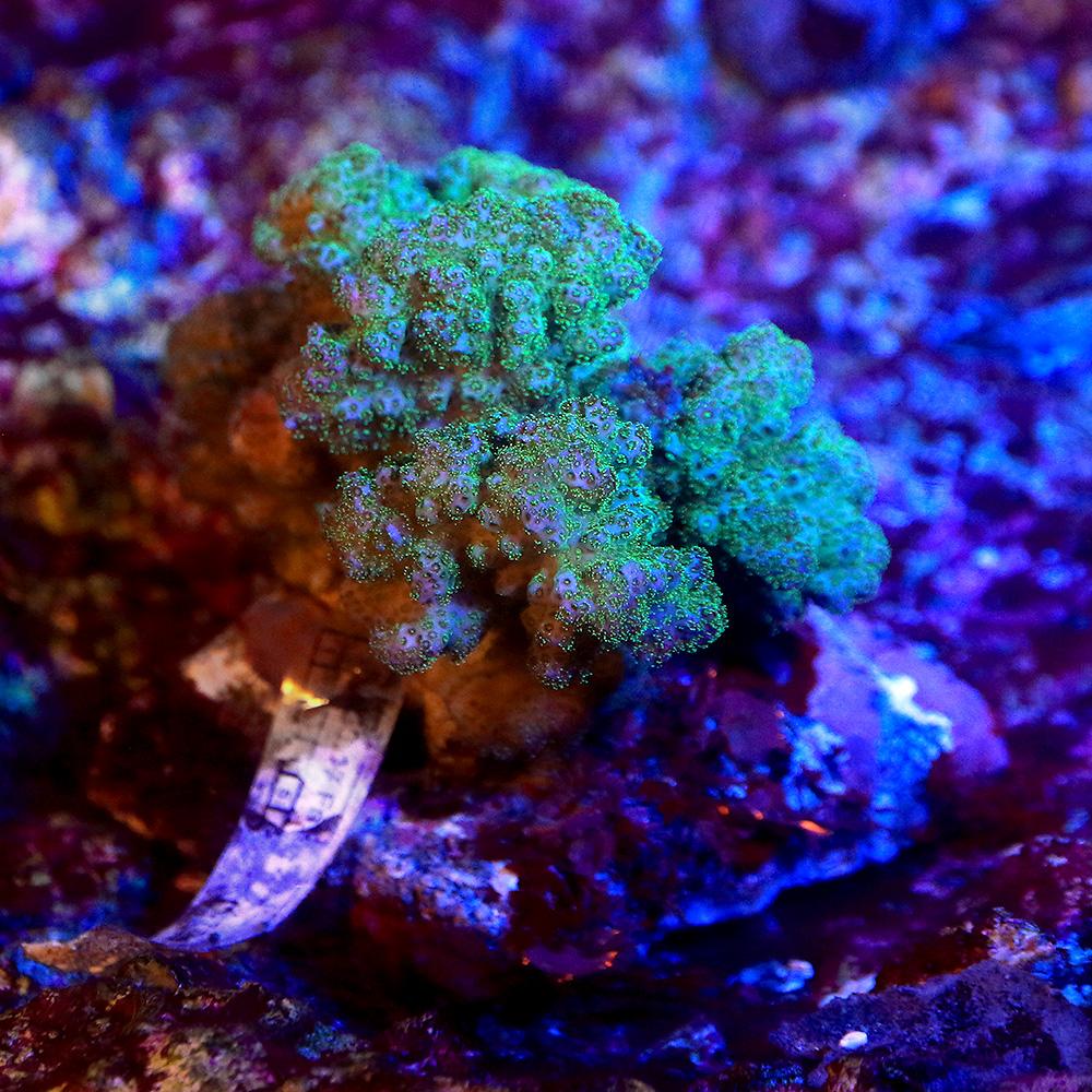 (サンゴ)一点物 インドネシア産 ハナヤサイサンゴ ポリプグリーン(ブリード) CM-12404(1個) 沖縄別途送料 北海道・九州航空便要保温
