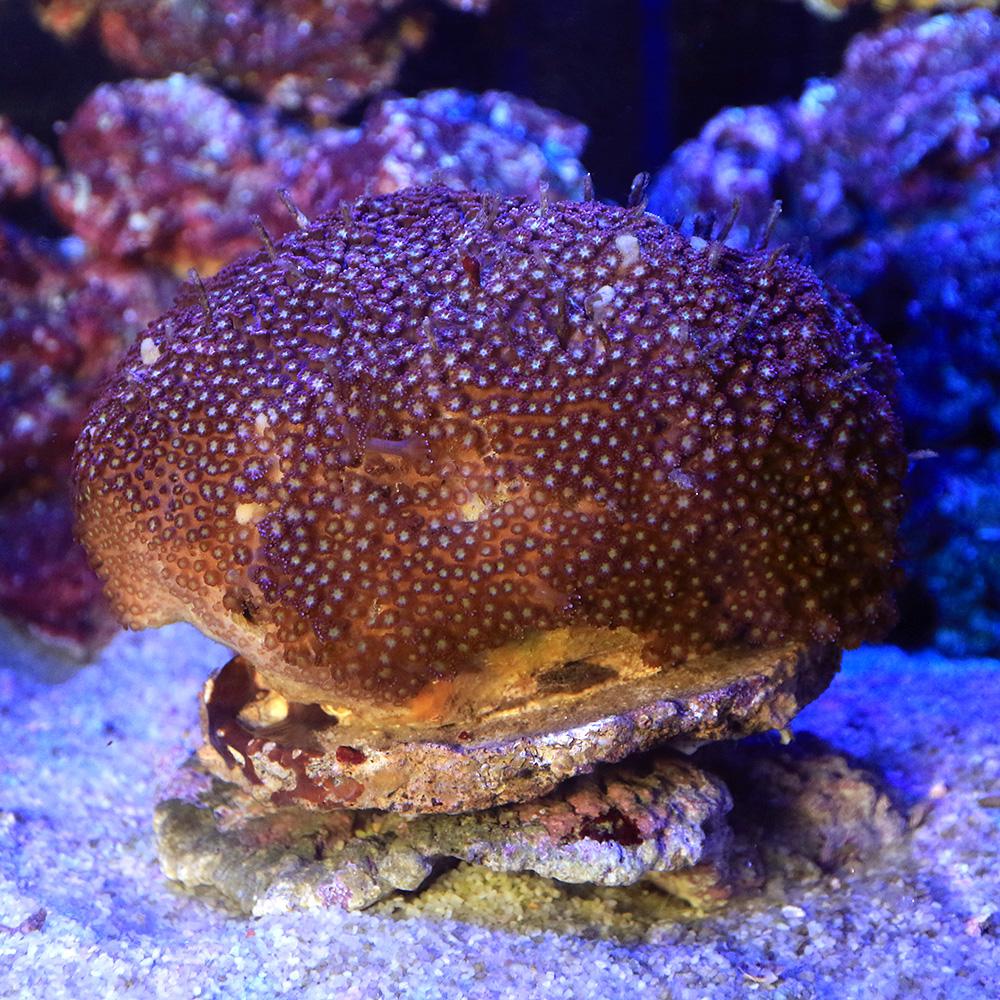 (サンゴ)一点物 インドネシア産 ハナガササンゴSp. ダークレッド CM-12087(1個) 沖縄別途送料