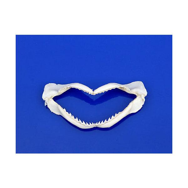 貝殻 シェルコレクション シャークマウス サメの顎 未使用 関東当日便 格安店 形状おまかせ Sサイズ 1個