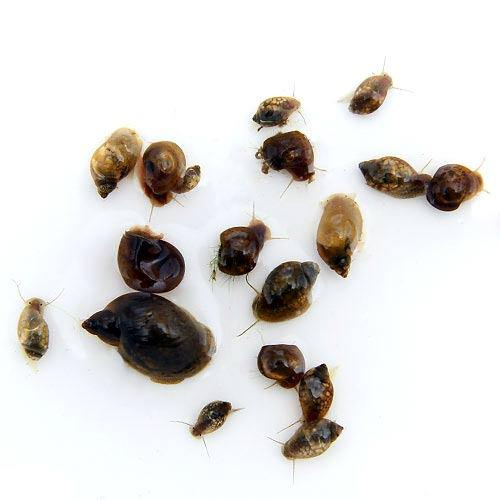 エビ 貝 生餌 超定番 エサ用巻貝 20匹 高級 Sサイズ 北海道航空便要保温 約0.3~1.5cm