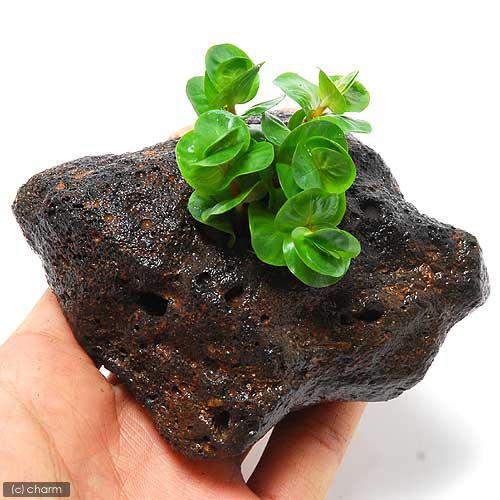 (水草)ロタラ ロトンディフォリア(水上葉) 穴あき溶岩石付(無農薬)(1個)